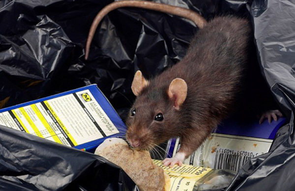 rats-and-lassa-fever