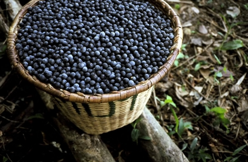 superfoods-Acai-Berry